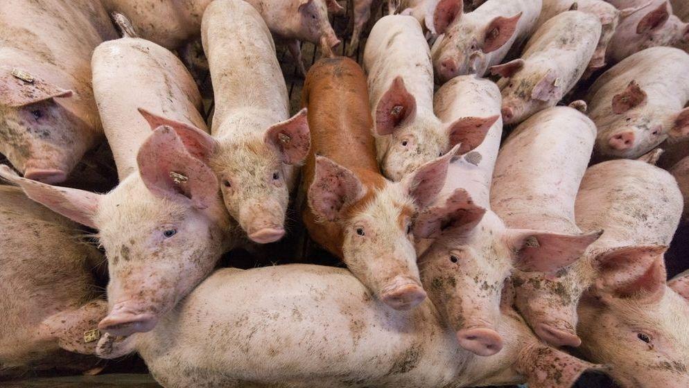 Schweine im Schweinestall.