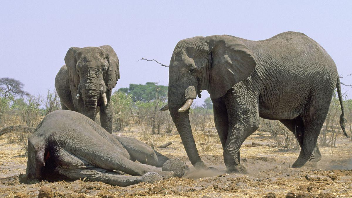 Elefanten berühren einen toten Artgenossen.