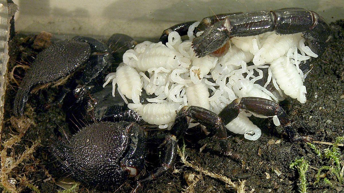 Kaiserskorpion mit Nachwuchs