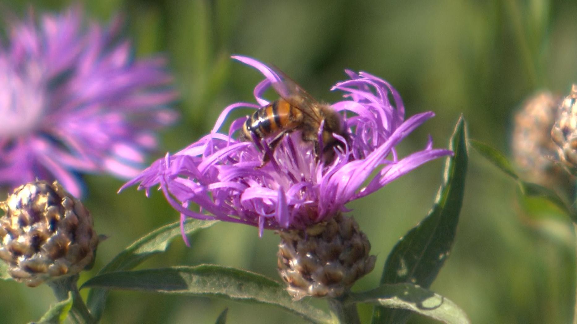 Biene sitzt auf einer Flockenblume.
