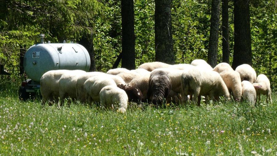 Schafe weiden auf Wiesen unter Bäumen am Fuße der Hochplatte in den Ammergauer Bergen