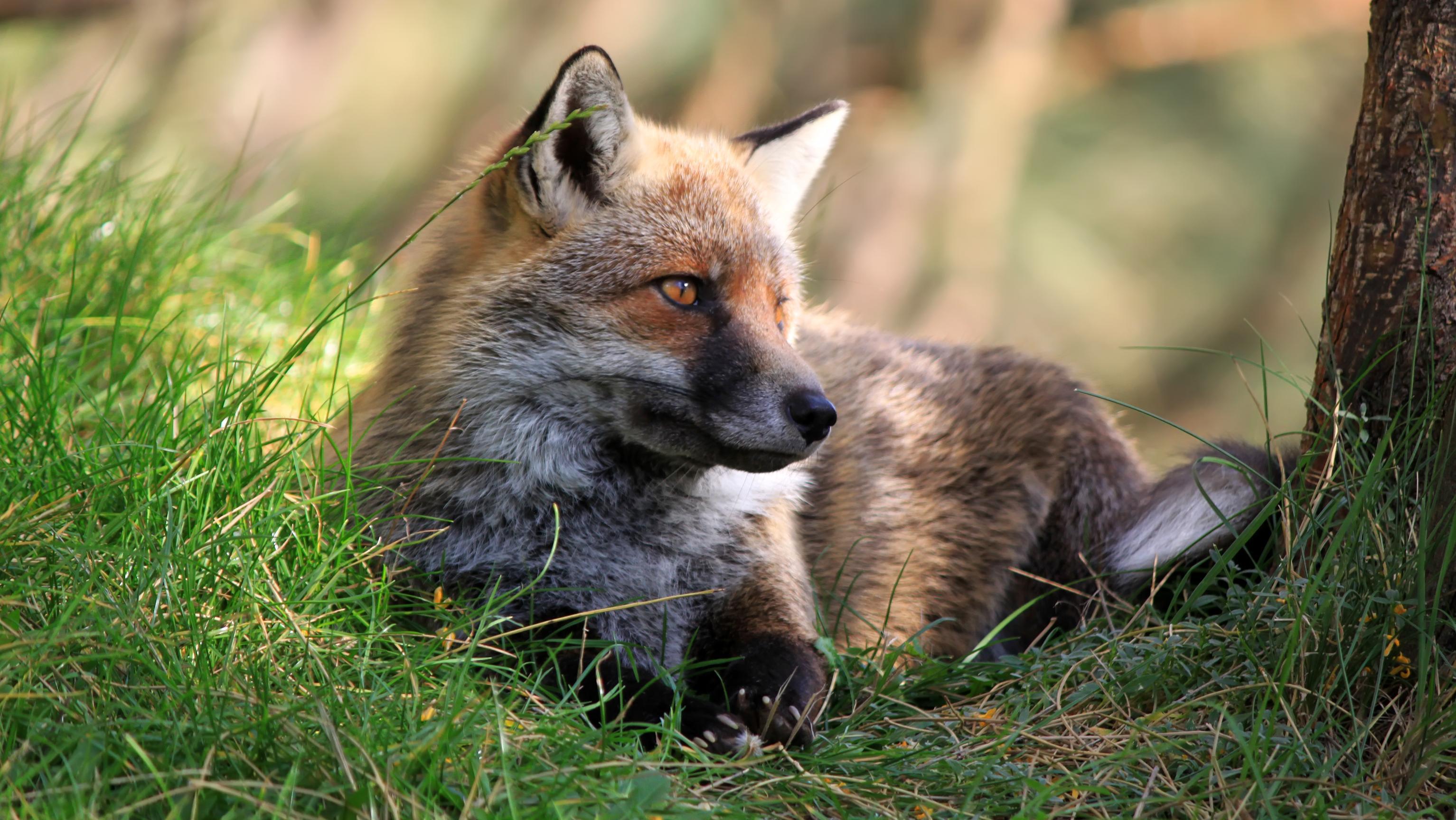 Ein Fuchs liegt neben einem Baum