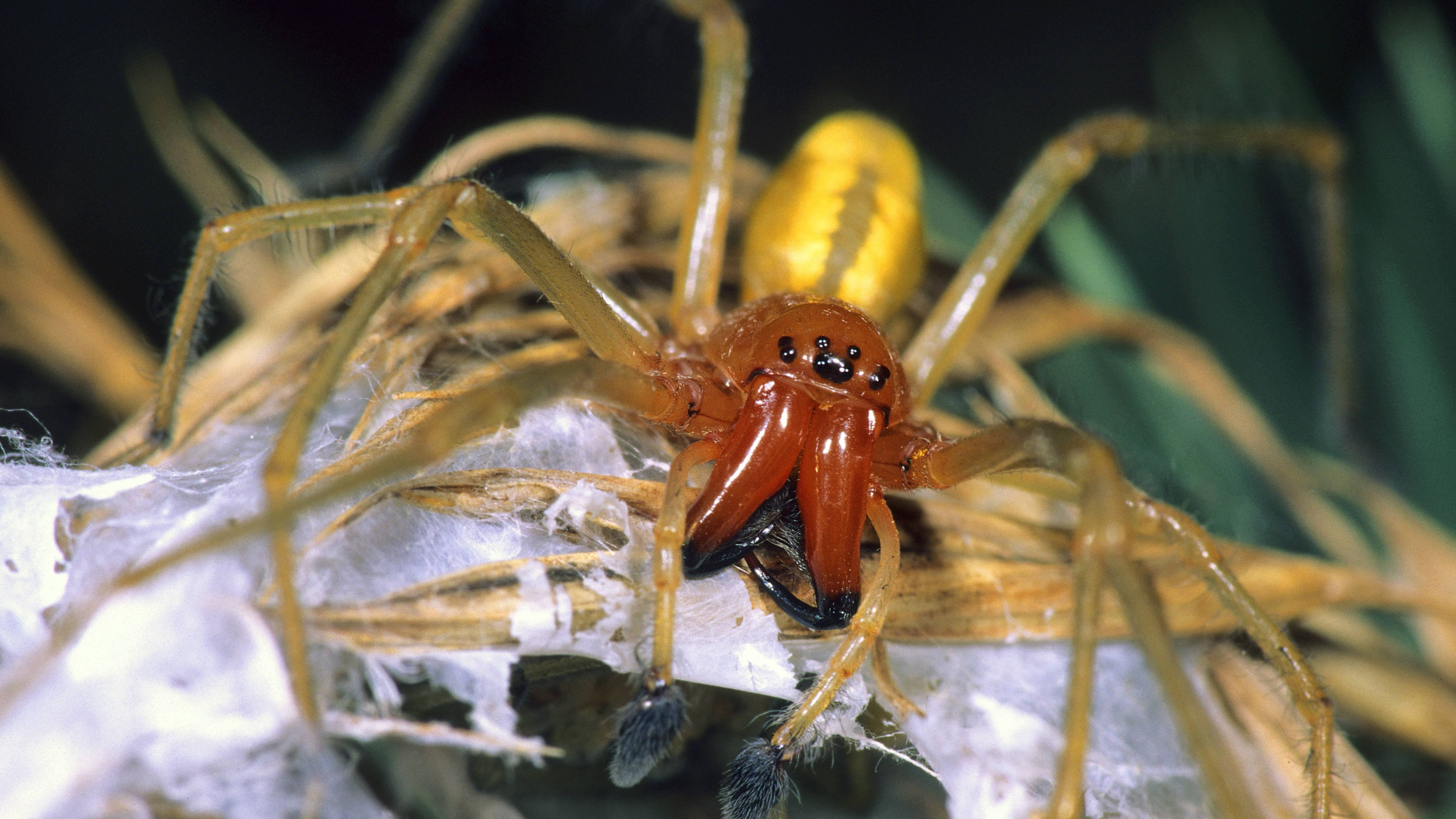 Ammen-Dornfinger-Männchen: Ursprünglich kommt die giftige Spinnenart aus Südeuropa, doch aufgrund des Klimawandels ist sie mittlerweile auch in Deutschland heimisch geworden.