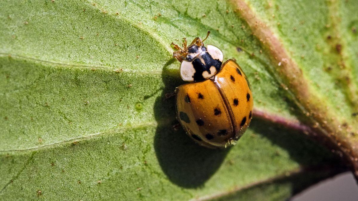 Asiatischer Marienkäfer (wissenschaftlicher Name: Harmonia axyridis) auf einem Blatt