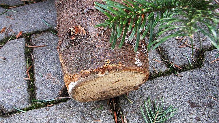 Der Stumpf von einem abgesägten Tannenbaum