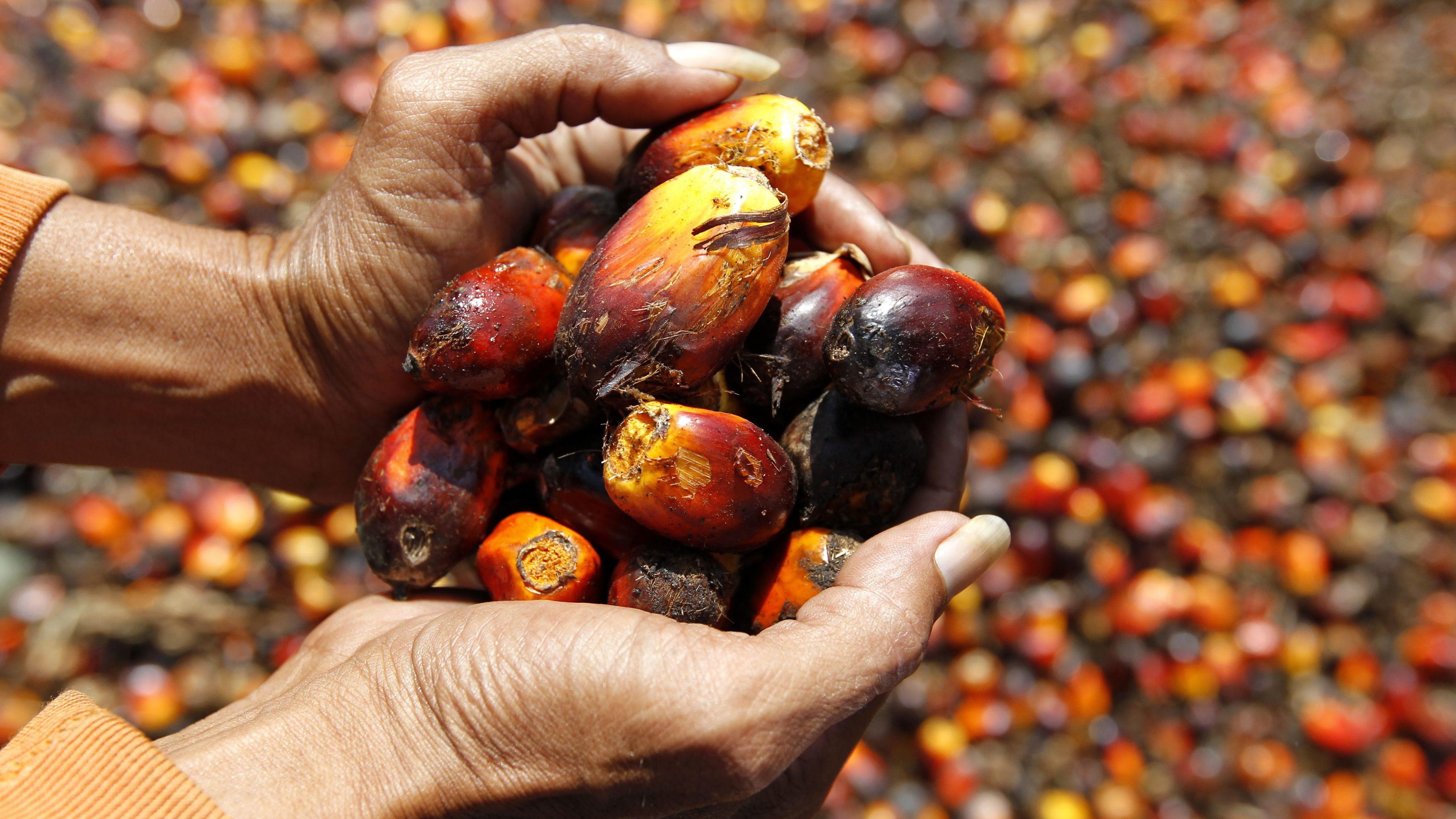 Palmöl-Früchte in der Hand einer Arbeiterin