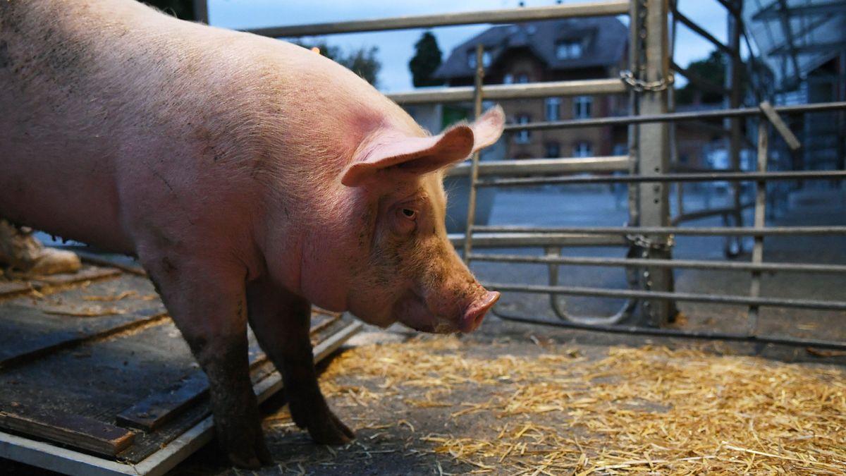 Anlieferung von Schweinen zur Schlachtung (Symbolbild)