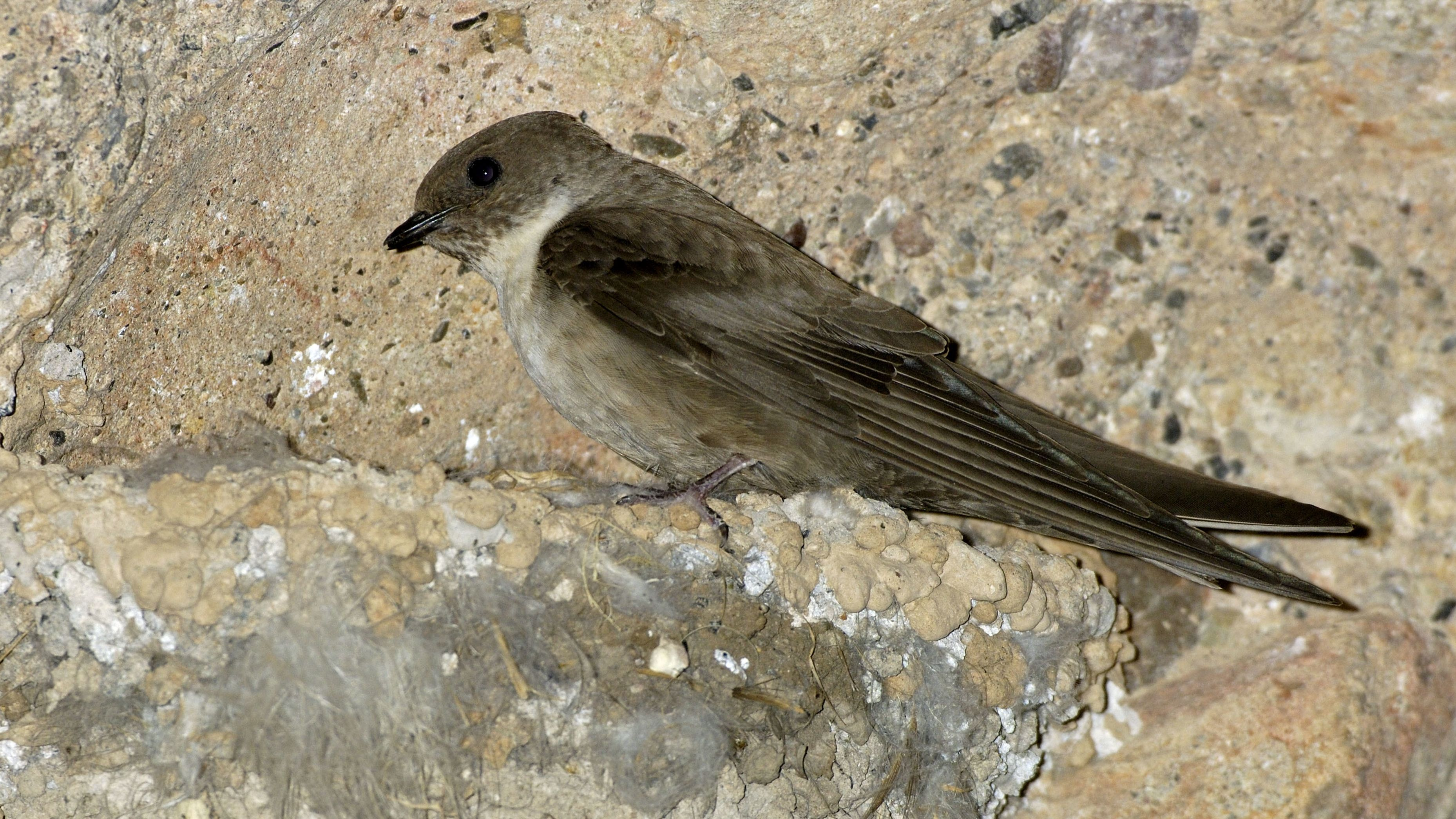 Felsenschwalbe am Nest