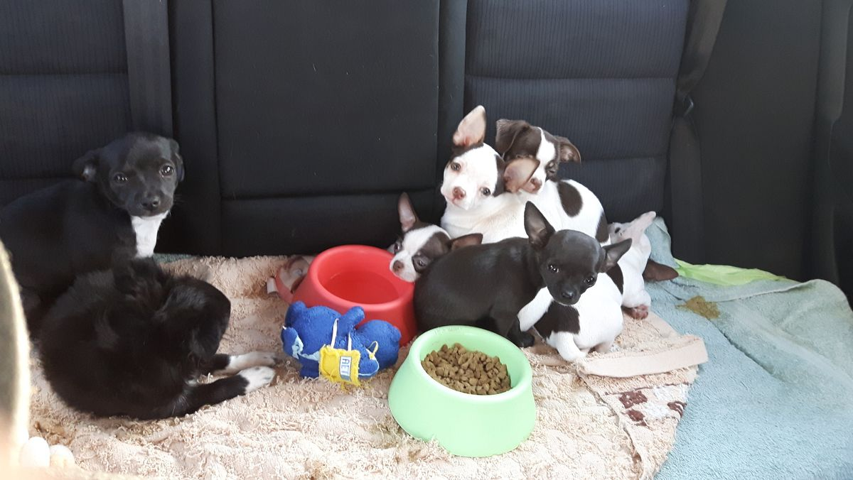 Chihuahua-Welpen auf der Autorückbank