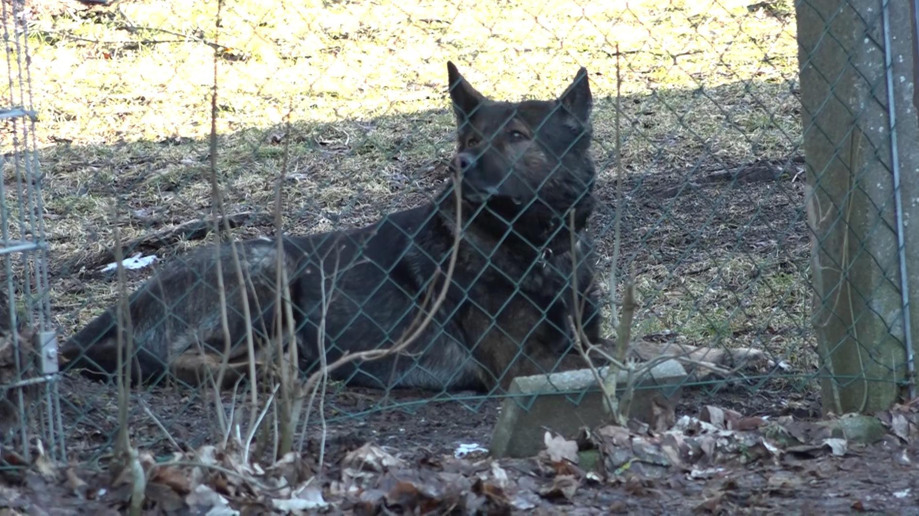 Auf dem Bild zu sehen ist einer der Schäferhunde hinter einem Zaun. Alle drei Schäferhunde konnte die Polizei einfangen.