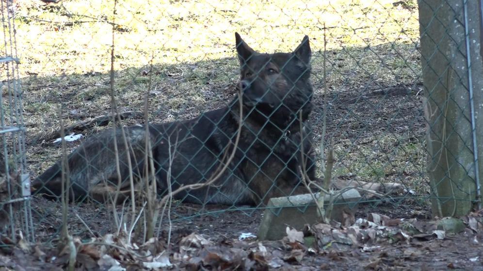 Auf dem Bild zu sehen ist einer der Schäferhunde hinter einem Zaun. Alle drei Schäferhunde konnte die Polizei einfangen. | Bild:BR