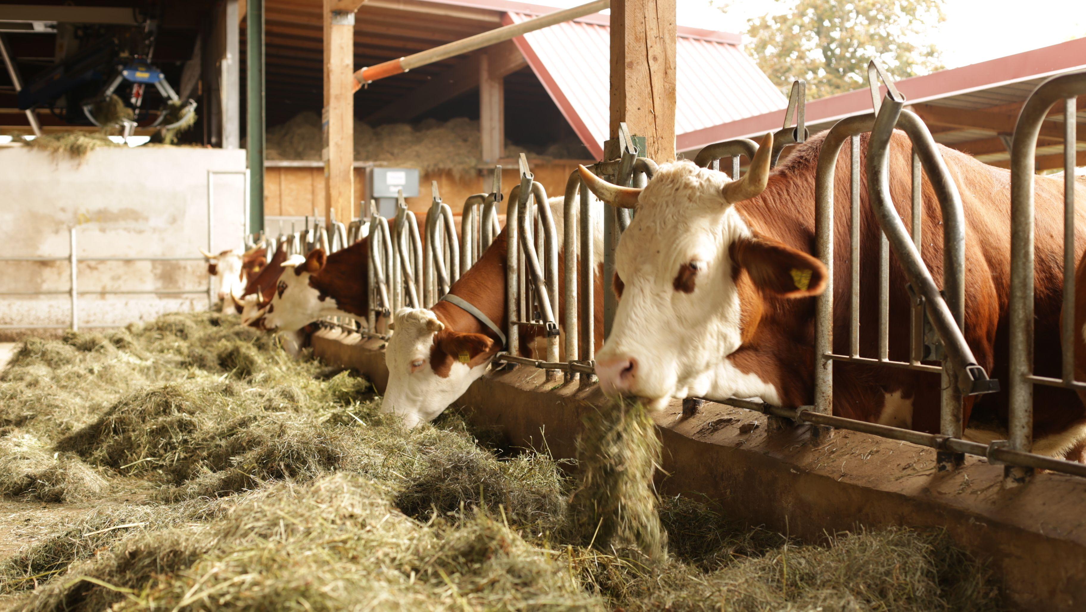 Kühe auf einem fränkischen Bio-Bauernhof (Archivbild)