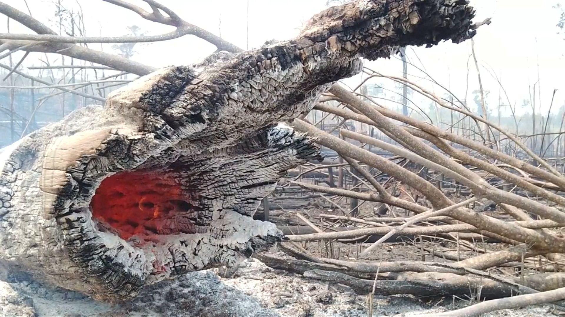 Ein brennender Baum im Amazonasgebiet