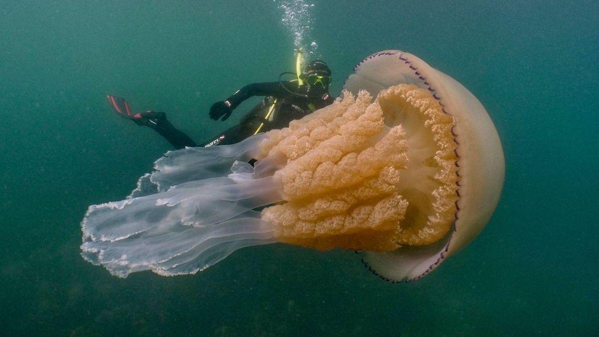 Taucher entdecken riesige Qualle vor englischer Küste