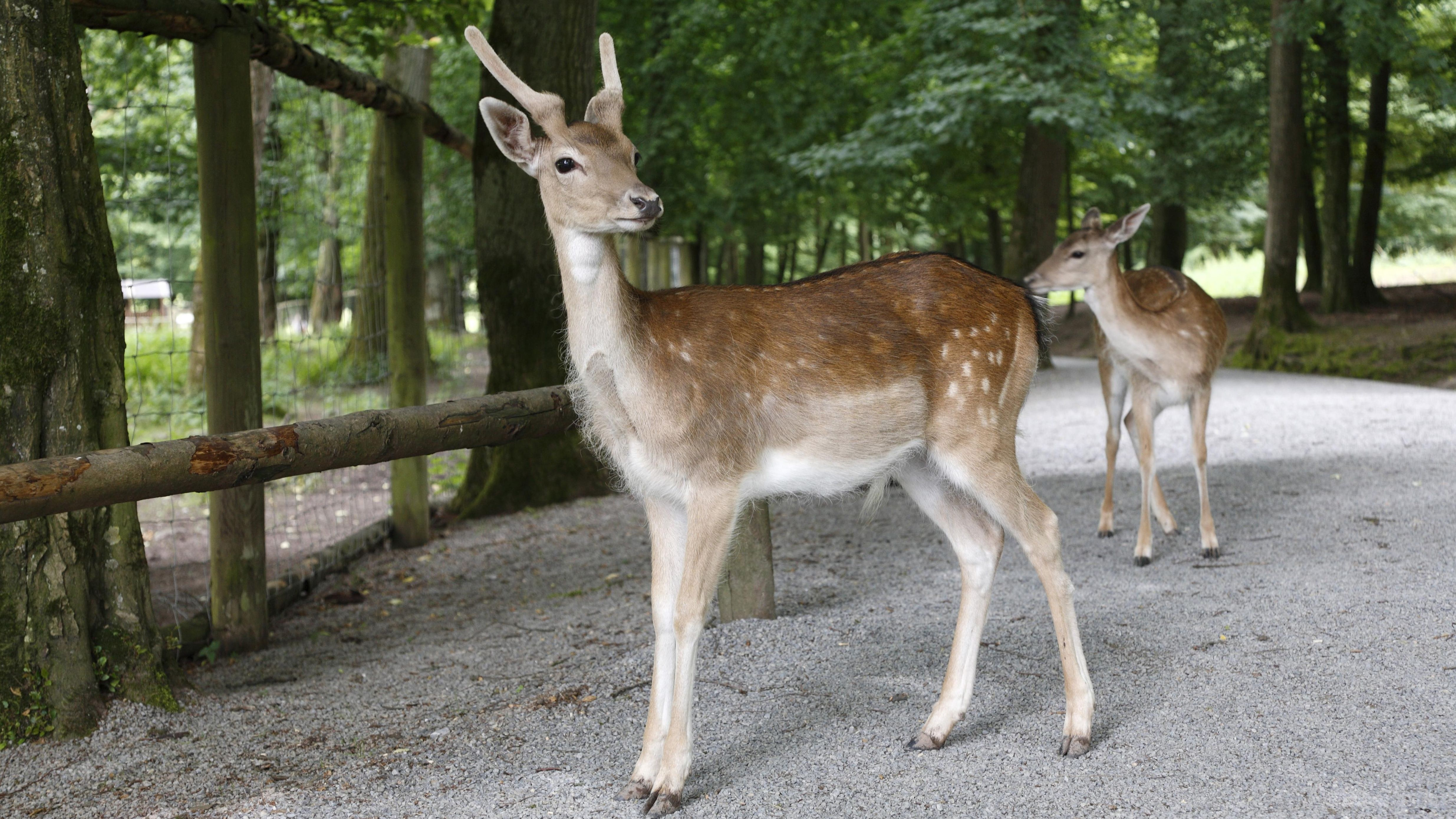 Damwild im Bad Kissinger Wildpark Klaushof