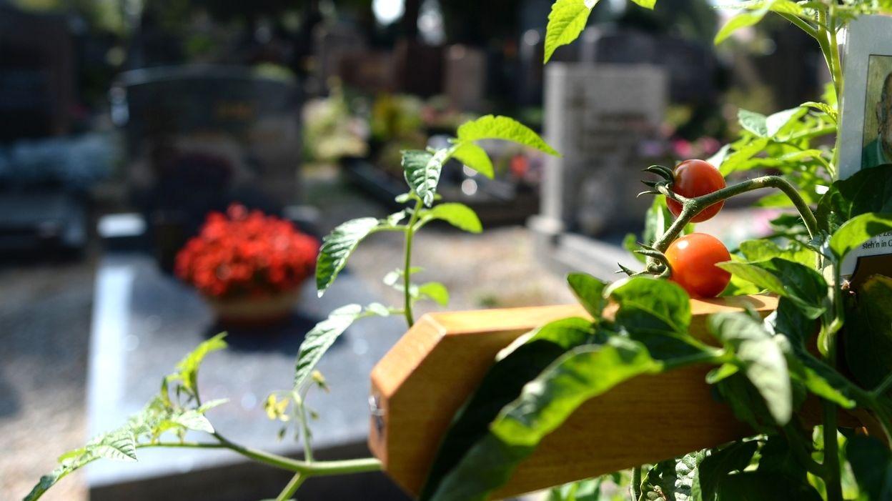 Tomatenpflanze auf einem Grab