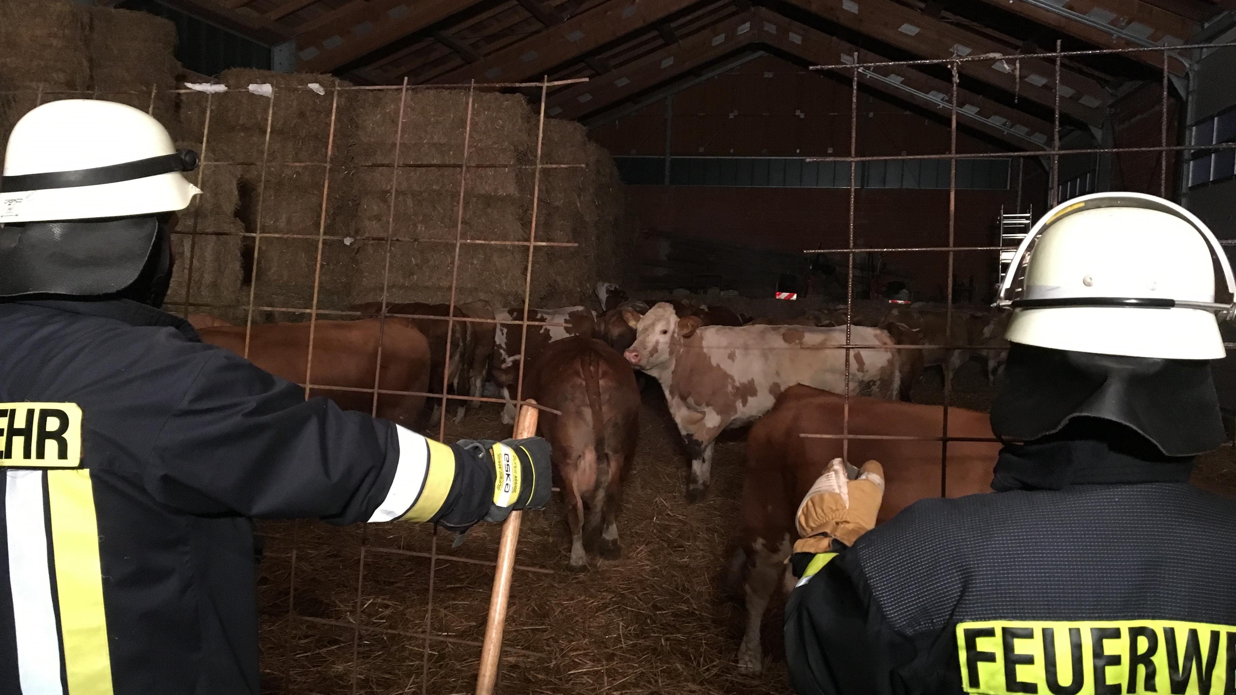 Stalldach eingestürzt: Teil der Tiere gerettet und in Scheune untergebracht