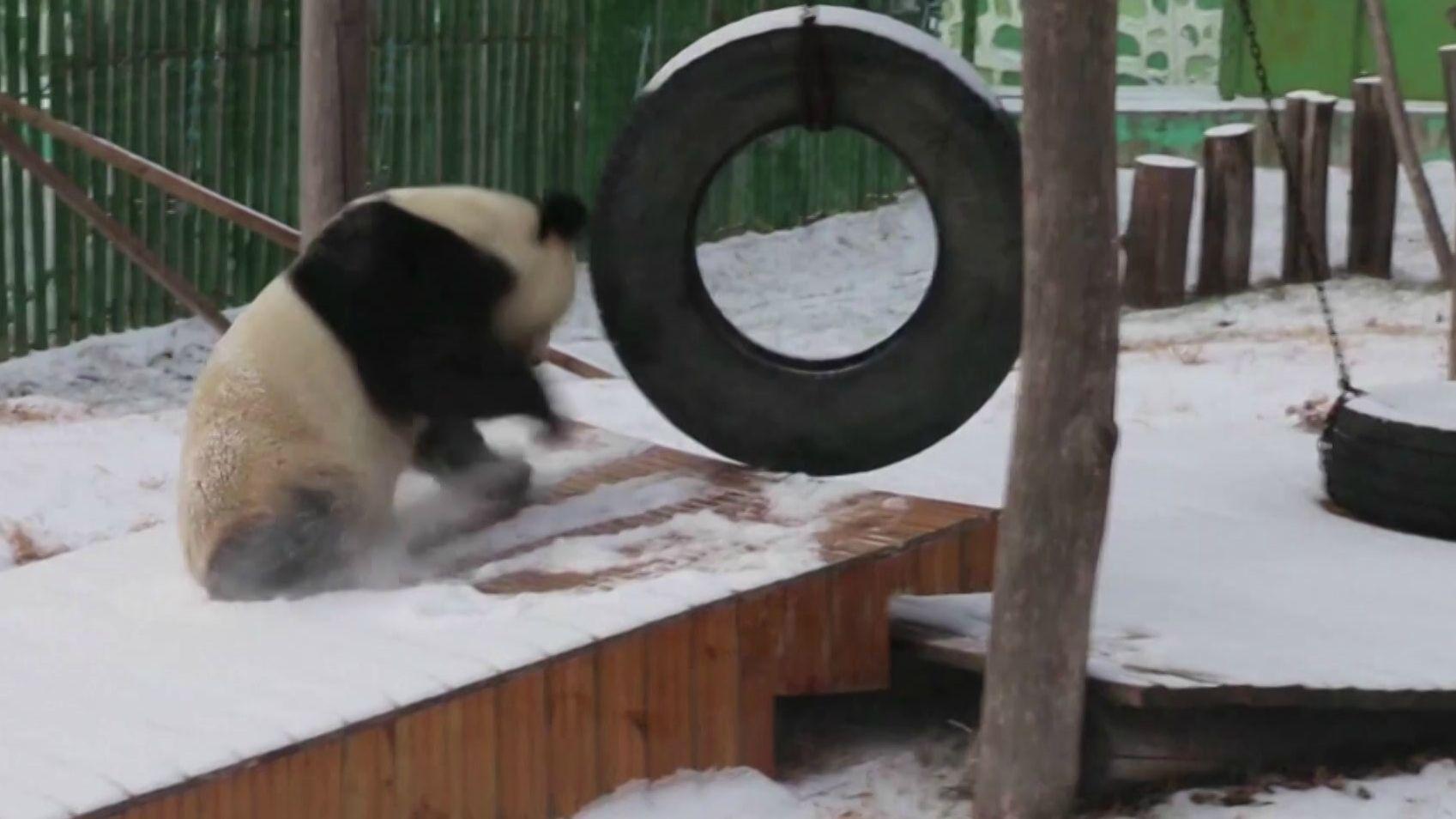 Panda tollt im Schnee
