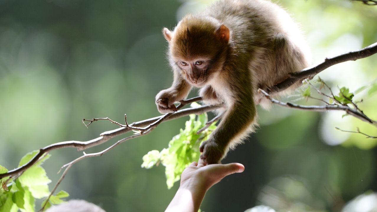 Ein Berberaffe im Affenpark Salem greift nach Popcorn.