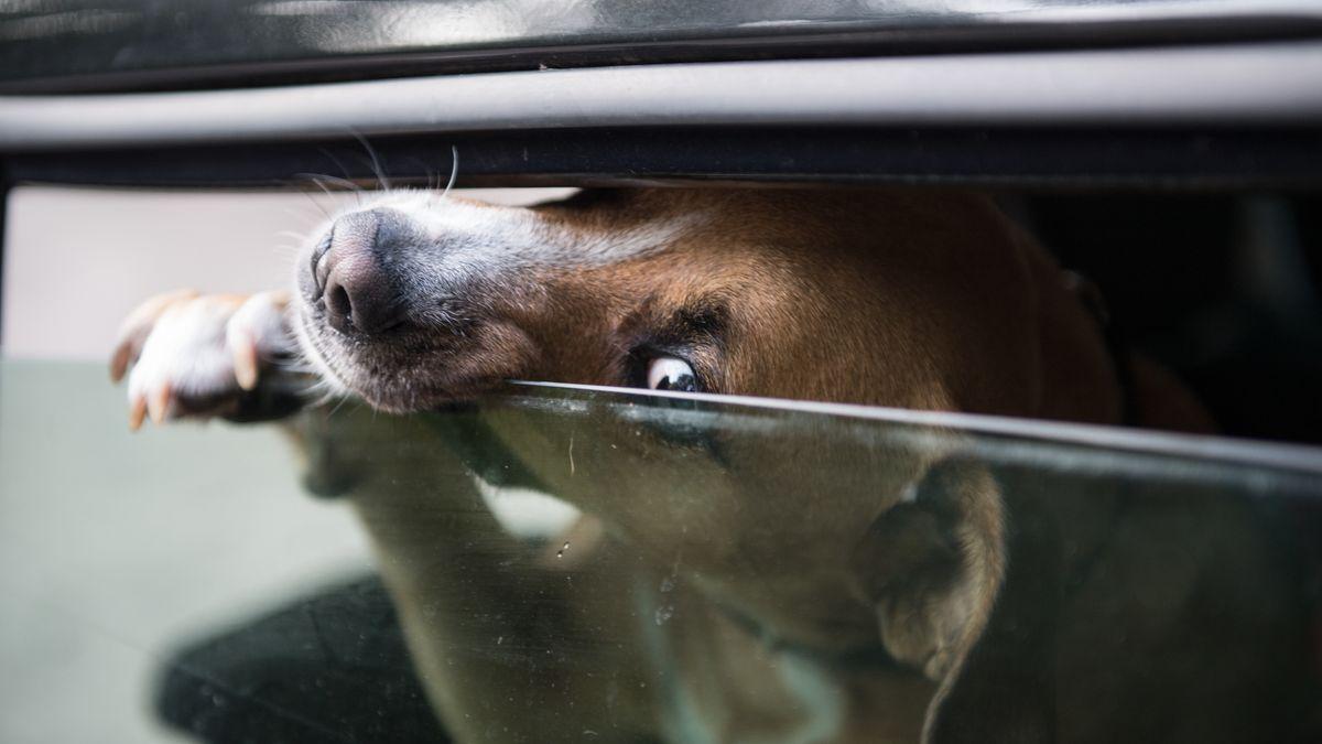 Ein Hund streckt seine Nase durch den kleinen Schlitz eines Autofensters.