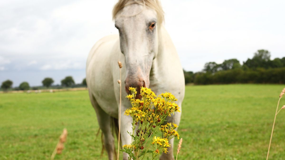 Pferd schnuppert an Jakobskreuzkraut