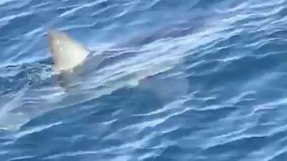 Haiflosse ragt aus dem Wasser, die Silouette des Tiers ist unter der Wasseroberfläche erkennbar.