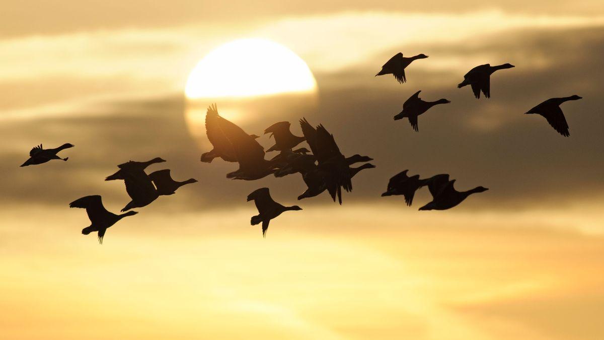 Ein Schwarm Graugänse, im HIntergrund die Sonne.
