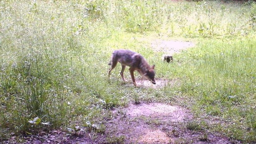Fotografierter Wolf im Landkreis Eichstätt