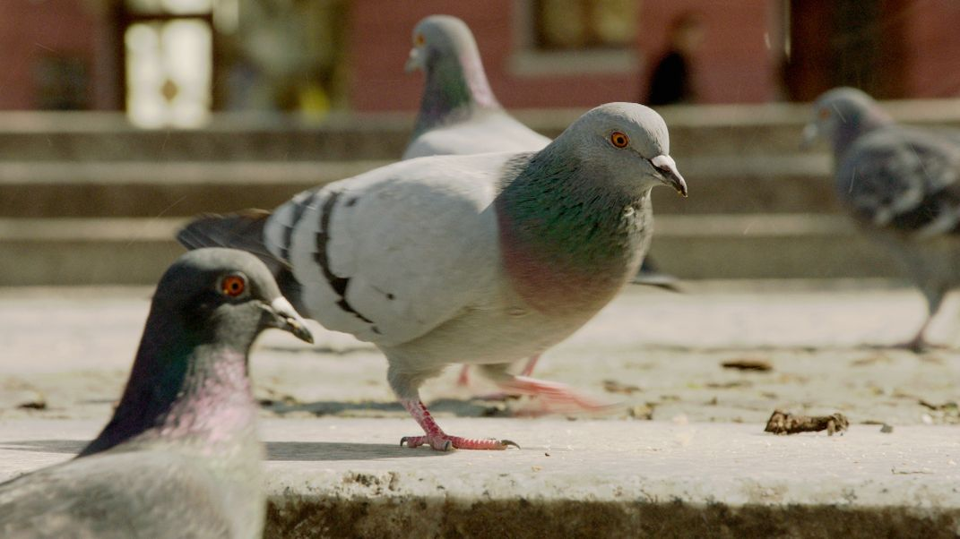 Mehrere Tauben
