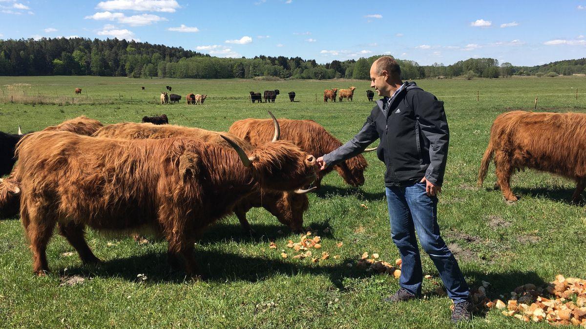 Von April bis Herbst grasen nun rund hundert schottische Bio-Rinder im Niedermoor.