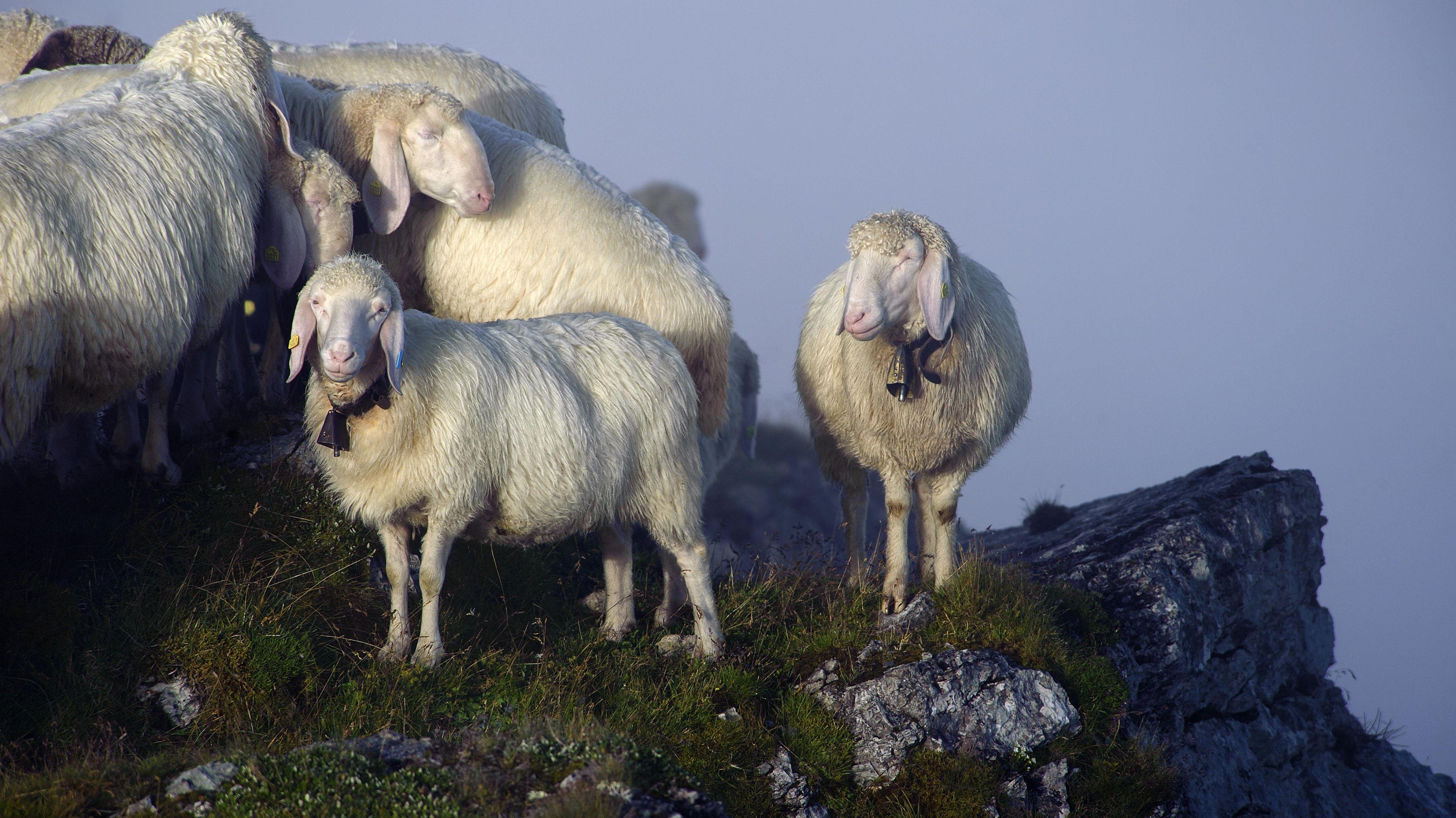 Symbolbild: Schafe auf einen Weg in Bayern