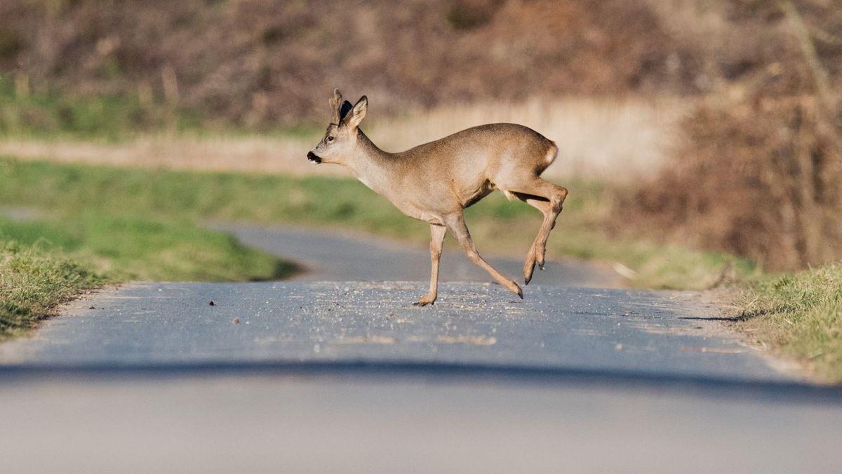 Ein Reh rennt über einen geteerten Weg.