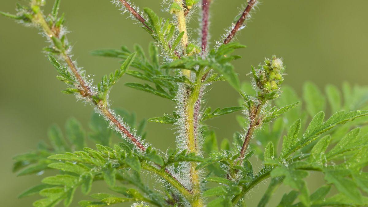 Behaarter Stängel einer Ambrosiapflanze.