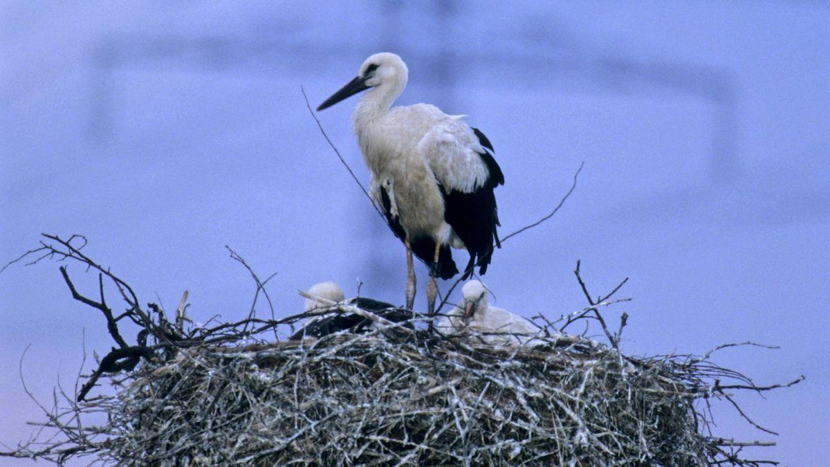 Ein Storch mit seinen Jungen im Horst, im Hintergrund ein Starkstrommast (Symbolbild).