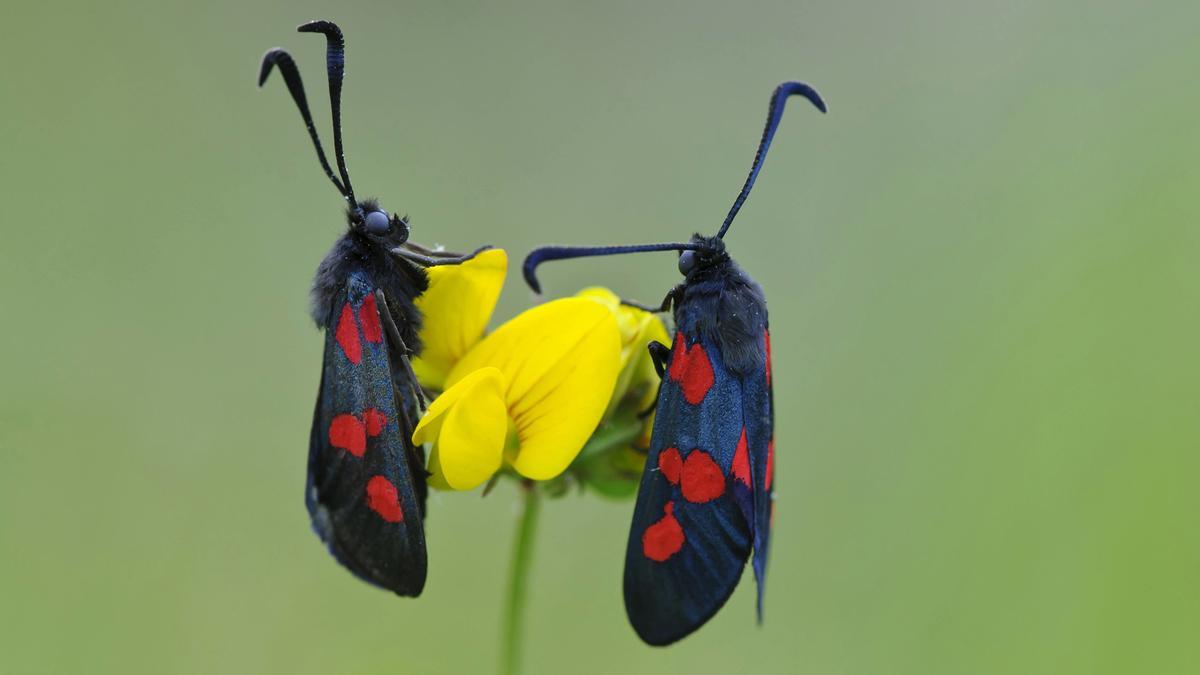 """Zwei Schmetterlinge der Art Sechsfleck-Widderchen, auch """"Blutströpfchen"""" genannt, auf gelbem Hornklee sitzend."""
