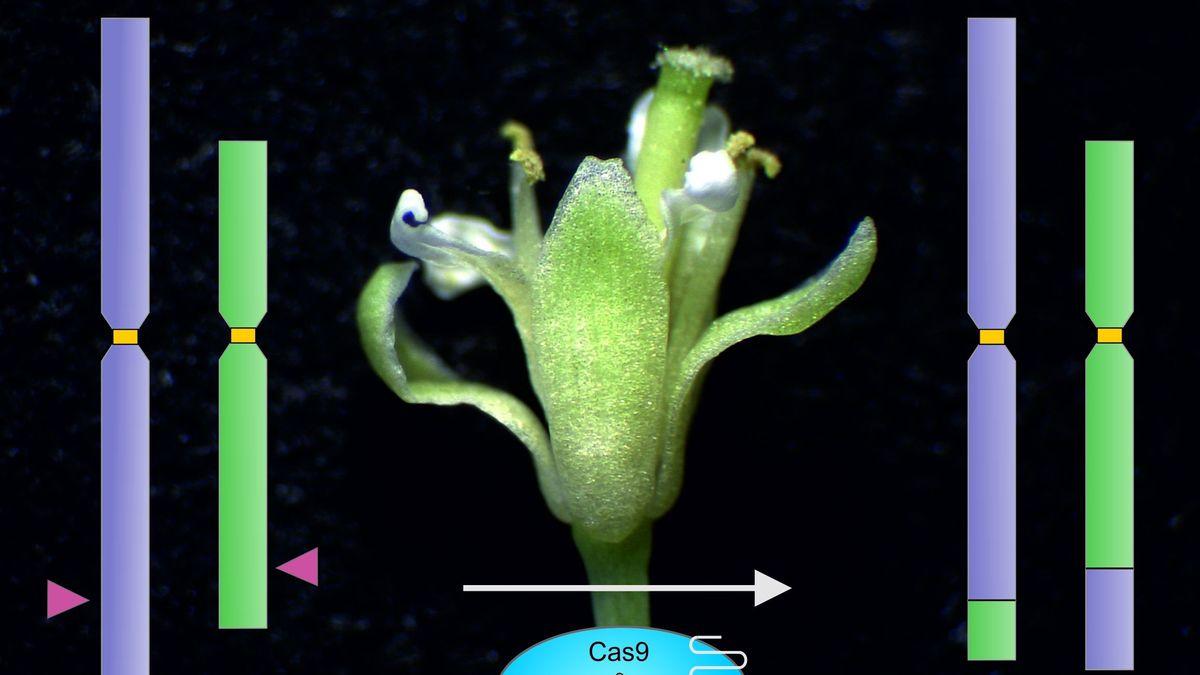 Genome Editing der Ackerschmalwand