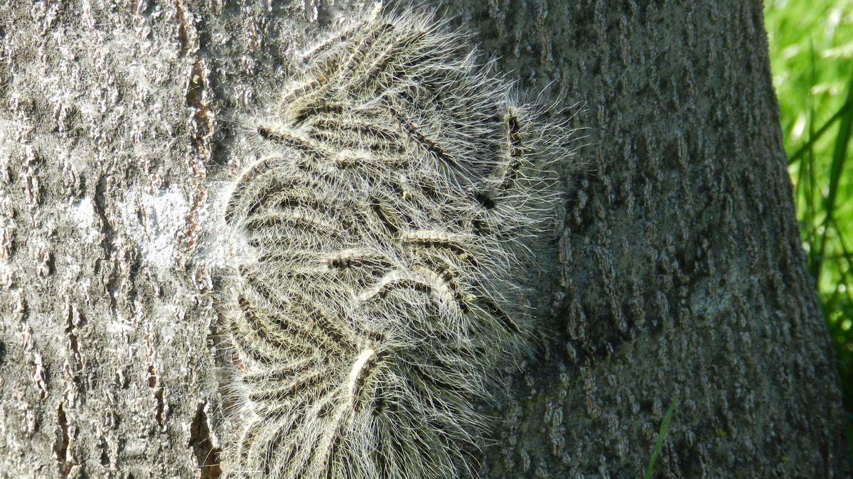 Eichenprozessionsspinner-Raupen, die sich noch nicht in Nester zurückgezogen haben