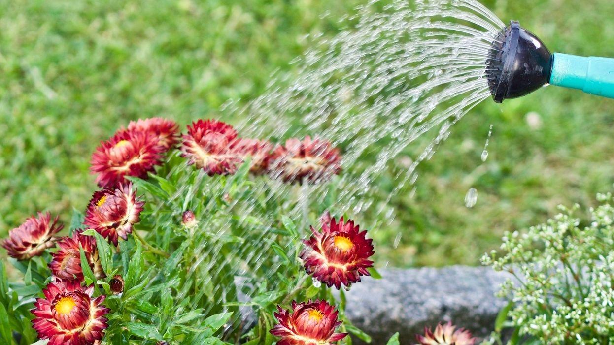 Blumen werden aus Gießkanne gegossen