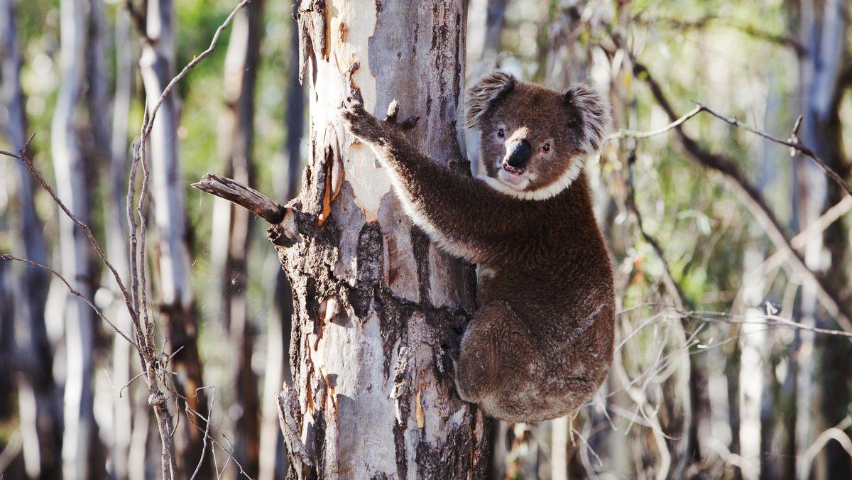 Ein Koalabär auf einem Baum in Australien.