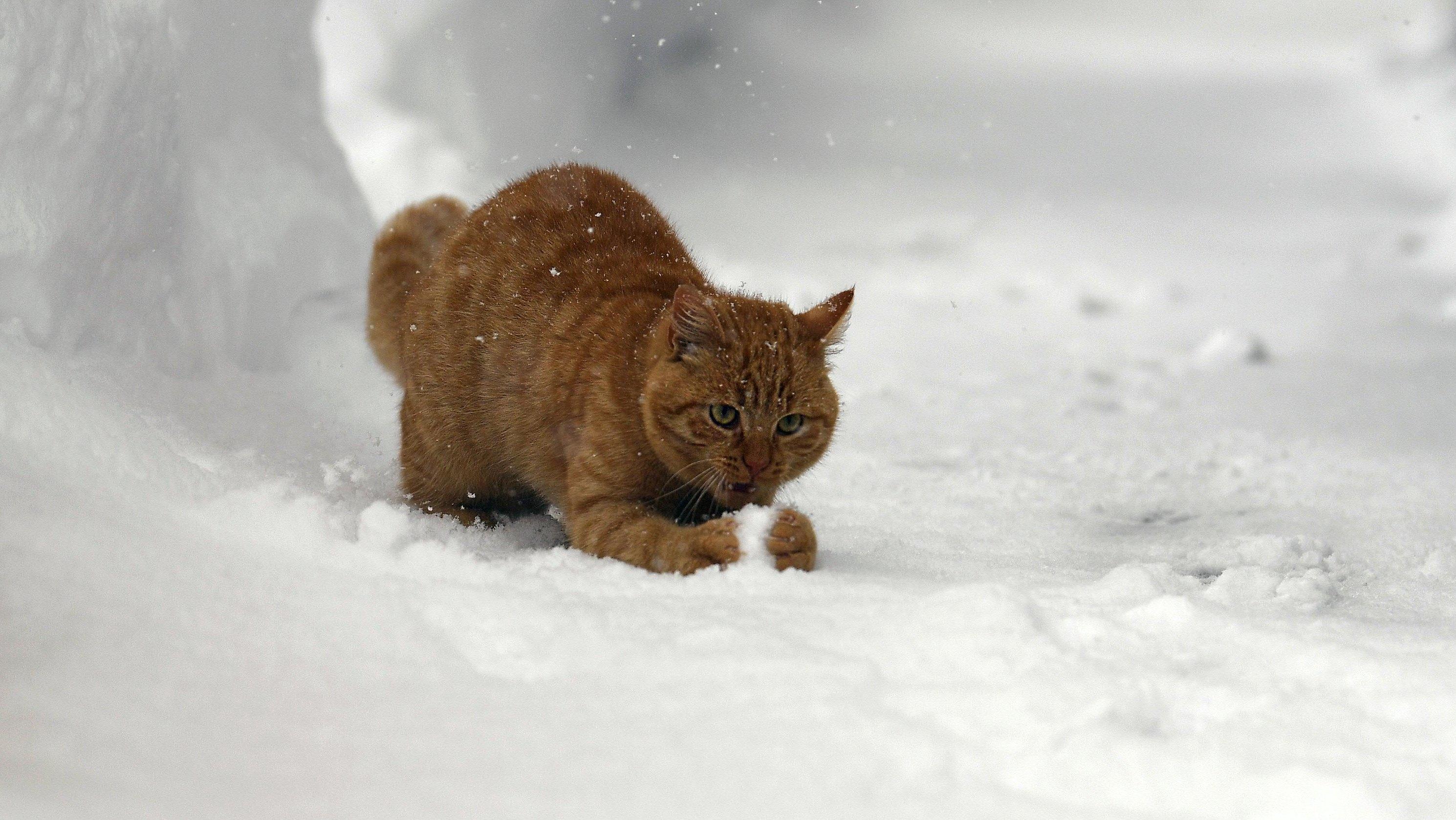 Österreich, Raumsau: Eine Katze spielt im Schnee