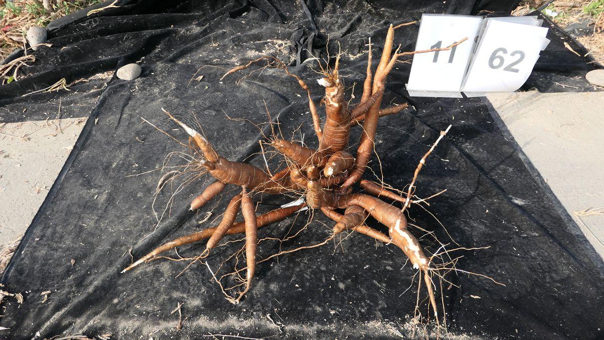 Maniok-Wurzel auf einem schwarzen Tuch