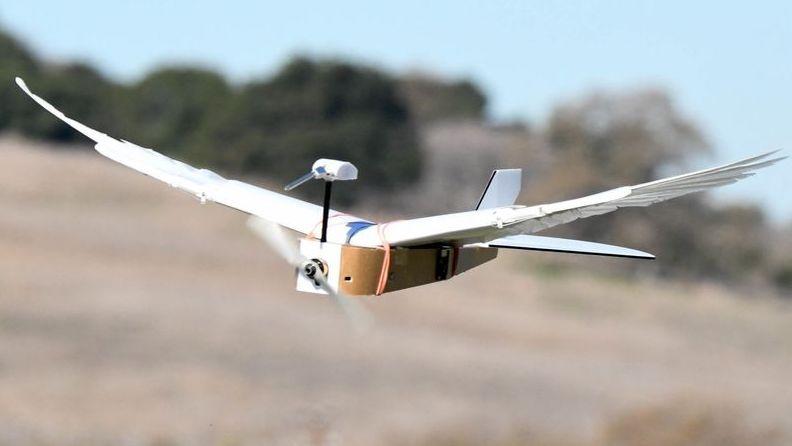 Flugroboter namens PigeonBot fliegt mit echten Taubenfedern.