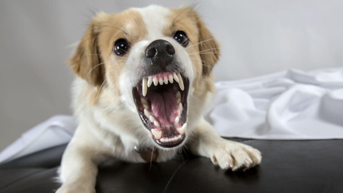Jack Russell Terrier-Mix fletscht die Zähne