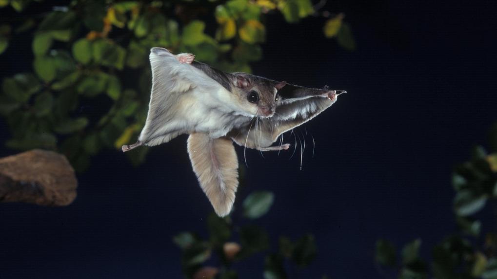 Nachtaktiv mit überraschendem Leuchteffekt: Südliches Neuwelt-Gleithörnchen (Glaucomys volans)