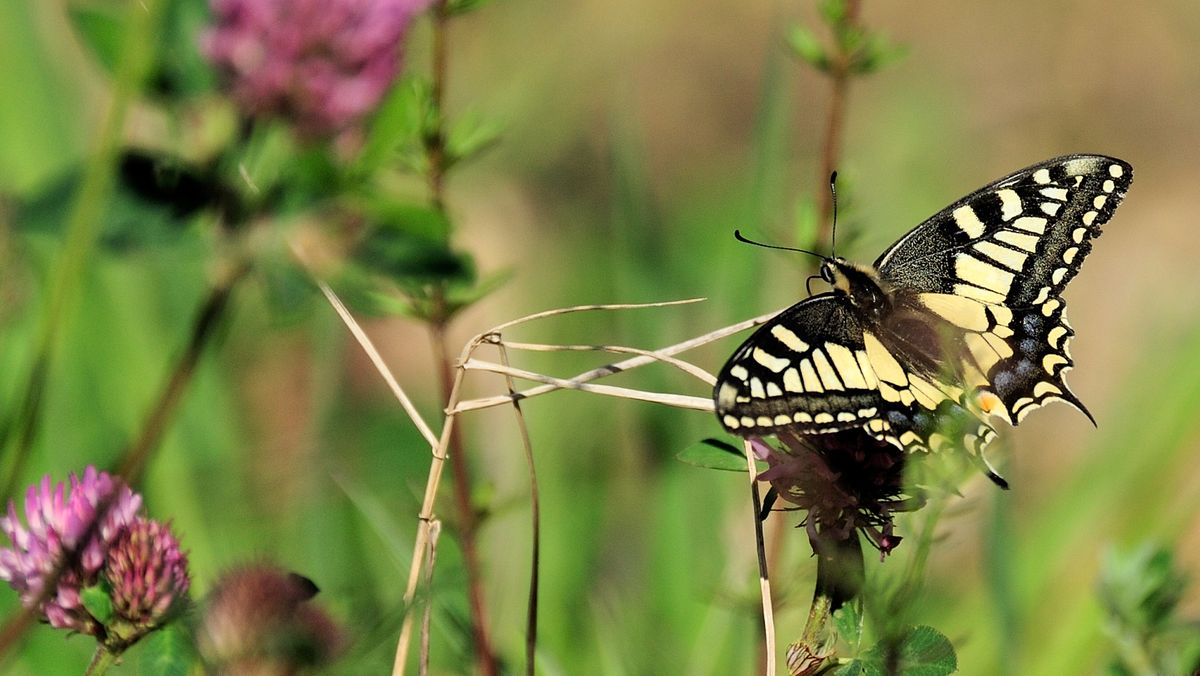 Ein Schwalbenschwanz in der Rhön