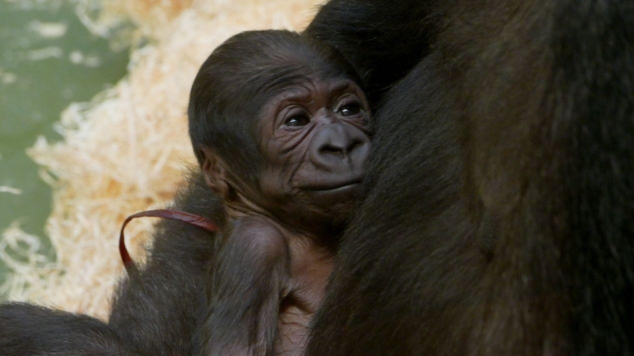 Gorilla-Nachwuchs im Tiergarten Nürnberg