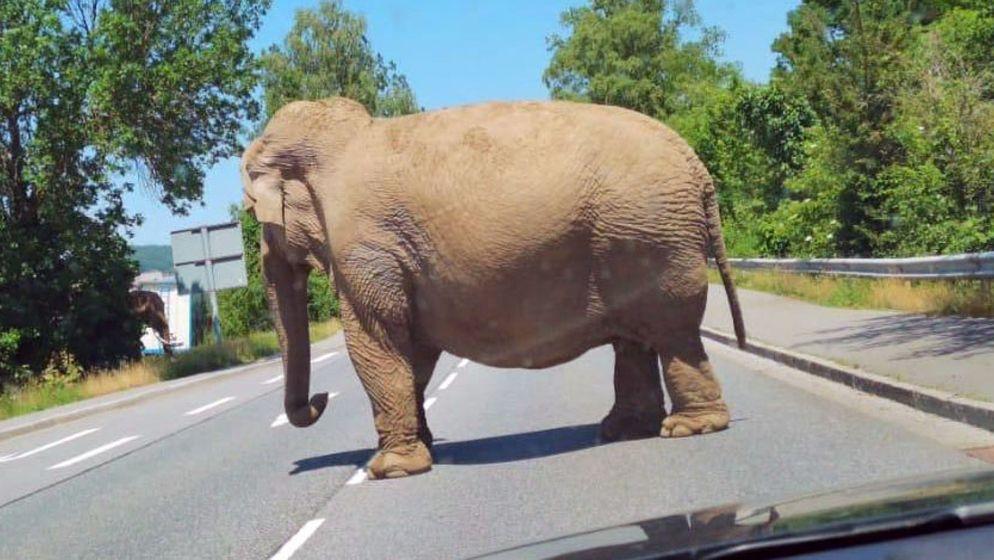 Einer der drei Elefanten bei seinem Spaziergang durch Cham. Die Tiere sollen schon häufiger ausgebrochen sein.   Bild:PETA