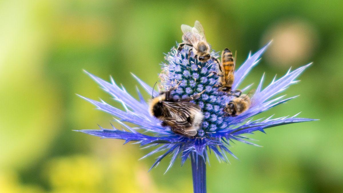 Bienen und Hummel saugen Nektar (Symbolbild)