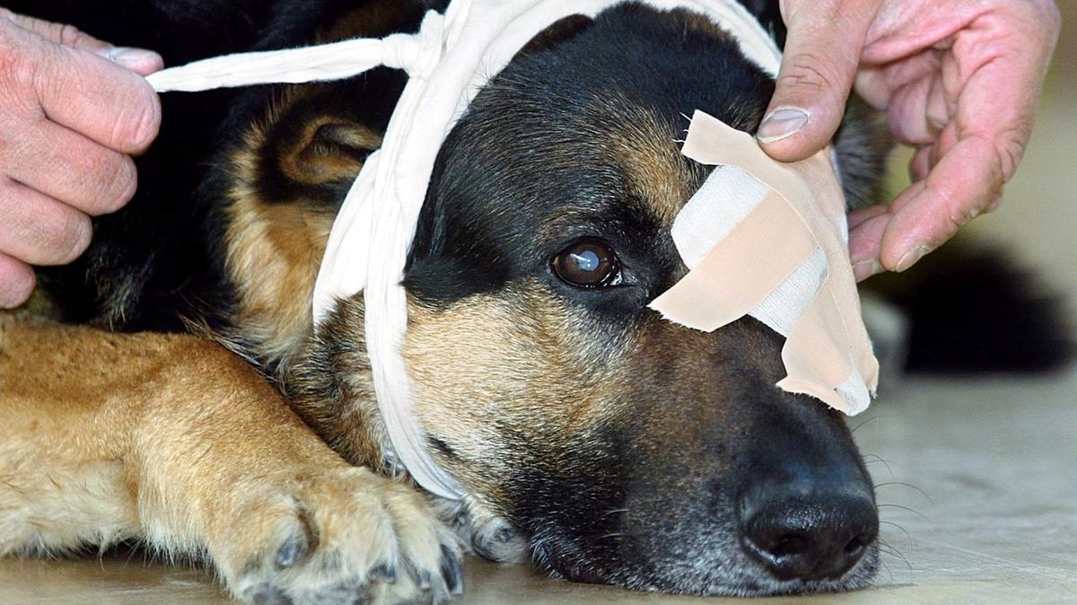 Hund wird mit einer Augenklappe versorgt