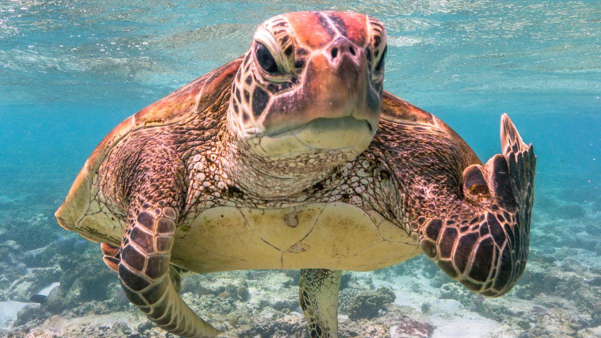 Schildkröte vor Lady Elliot Island, Queensland, Australien